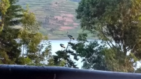 Blurry crowned cranes